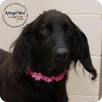 Irish Setter/Retriever (Unknown Type) Mix Dog for adoption in Troy, Ohio - Lottie