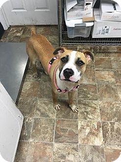 Boxer/Labrador Retriever Mix Dog for adoption in Darlington, South Carolina - Carlile
