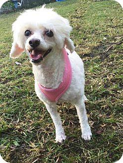 Poodle (Miniature) Mix Dog for adoption in Boca Raton, Florida - Holly