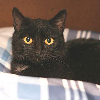 Domestic Shorthair Cat for adoption in McCormick, South Carolina - Nick (barn cat)