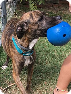 Greyhound/Hound (Unknown Type) Mix Dog for adoption in Spring Valley, New York - Marley (ETAA)