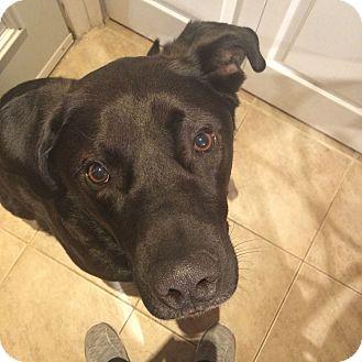 Labrador Retriever Mix Dog for adoption in Edmonton, Alberta - Rocky