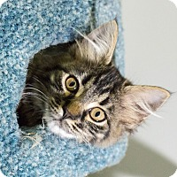 Adopt A Pet :: Dashwood - St. Louis, MO