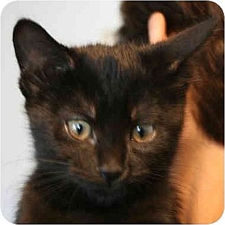 Domestic Shorthair Kitten for adoption in Huntley, Illinois - Adorabell