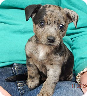 Terrier (Unknown Type, Small)/Australian Shepherd Mix Puppy for adoption in Niagara Falls, New York - Daffe (3 lb) Video!