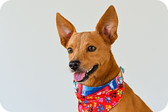 Chihuahua Mix Dog for adoption in Victoria, British Columbia - Mango