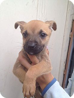 Cairn Terrier/Terrier (Unknown Type, Small) Mix Puppy for adoption in LAKEWOOD, California - Chica