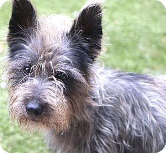 Cairn Terrier Mix Dog for adoption in Bedminster, New Jersey - Jefferson