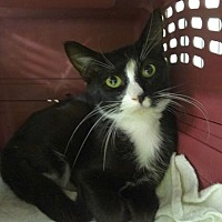 Domestic Shorthair Cat for adoption in St. Paul, Minnesota - Marilyn and Parker