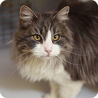 Domestic Longhair Cat for adoption in Kanab, Utah - Odessa