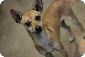 Chihuahua/Dachshund Mix Dog for adoption in Canoga Park, California - Jackson-Chiweenie!
