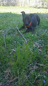 American Staffordshire Terrier/Pit Bull Terrier Mix Dog for adoption in Covington, Tennessee - Sadie