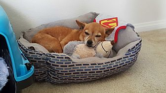 Chihuahua/Terrier (Unknown Type, Small) Mix Dog for adoption in Huntington Beach, California - Rocky Balboa