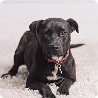 Adopt A Pet :: Olivia - Portland, OR