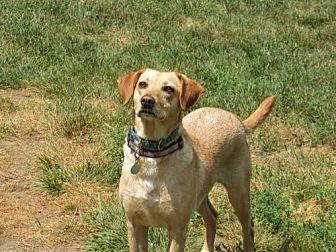Labrador Retriever Mix Dog for adoption in Gilbertsville, Pennsylvania - Gypsy