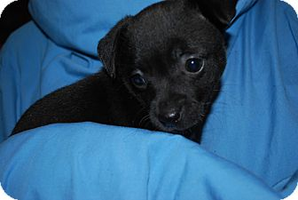 Chihuahua/Terrier (Unknown Type, Small) Mix Puppy for adoption in ST LOUIS, Missouri - Najo