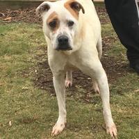 Labrador Retriever Mix Dog for adoption in Anderson, South Carolina - Lil Moe