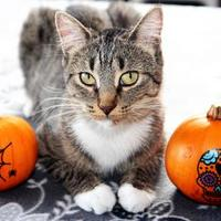 Adopt A Pet :: Agatha Christie - Mission, KS