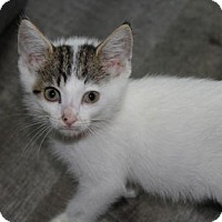 Adopt A Pet :: T17 Heathcliff ADOPTED - Northville, MI
