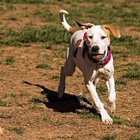 Adopt A Pet :: Allie - Maryville, TN