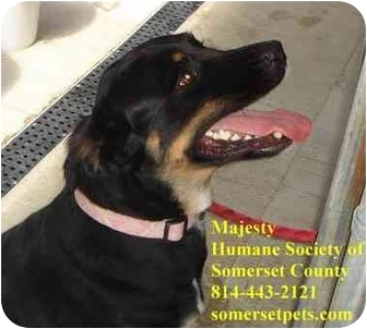 Rottweiler Mix Dog for adoption in Somerset, Pennsylvania - Majesty