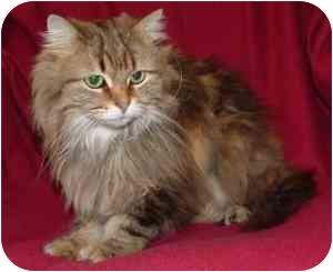 Maine Coon Kitten for adoption in Cincinnati, Ohio - Tally