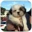 Photo 3 - Shih Tzu Puppy for adoption in Los Angeles, California - PUCCINI
