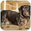 Photo 1 - Dachshund Dog for adoption in Killingworth, Connecticut - Frank