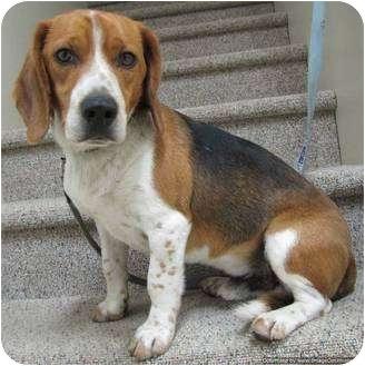 Beagle Mix Dog for adoption in Morden, Manitoba - Nemo