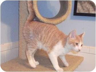 Domestic Shorthair Kitten for adoption in Edwardsville, Illinois - Theodore