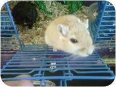 Gerbil for adoption in Silver Lake, Wisconsin - WIlly and Wonka