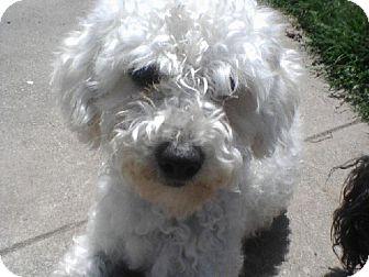 Poodle (Miniature) Dog for adoption in El Cajon, California - BELLA