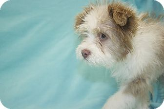 Terrier (Unknown Type, Small)/Cairn Terrier Mix Puppy for adoption in Broomfield, Colorado - Wiggles