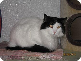 Domestic Longhair Cat for adoption in Colorado Springs, Colorado - Oreo