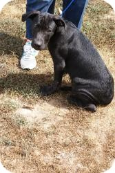 Great Dane/Labrador Retriever Mix Puppy for adoption in Pocahontas, Arkansas - Pablo