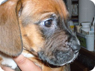 Rottweiler/Boxer Mix Puppy for adoption in Brooklyn, New York - MISTER G