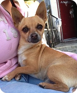 Chihuahua Mix Dog for adoption in Studio City, California - Chico