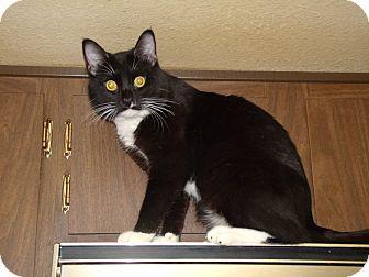 Domestic Shorthair Cat for adoption in Scottsdale, Arizona - Zee