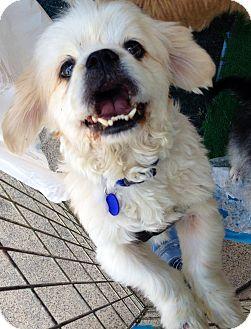 Pekingese Mix Dog for adoption in San Diego, California - Coco