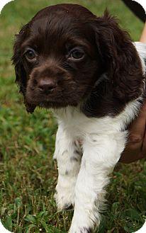 Cocker Spaniel Puppy for adoption in Newark, Delaware - Choco