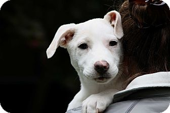 Labrador Retriever Mix Puppy for adoption in Salem, New Hampshire - PUPPY CHERRY**