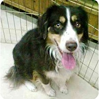 Adopt A Pet :: Dakota - Gilbert, AZ