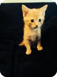 Domestic Shorthair Kitten for adoption in Gainesville, Florida - Aladdin
