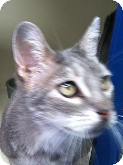 Domestic Shorthair Cat for adoption in Laguna Woods, California - Lucky