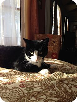 Domestic Shorthair Cat for adoption in Levittown, New York - JAX