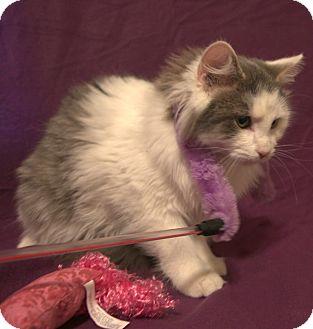 Domestic Longhair Kitten for adoption in Harrisonburg, Virginia - Nieman (SC)