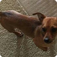Adopt A Pet :: Thor - chiweenie - Phoenix, AZ