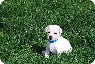 Beagle/Labrador Retriever Mix Puppy for adoption in Los Angeles, California - Ever