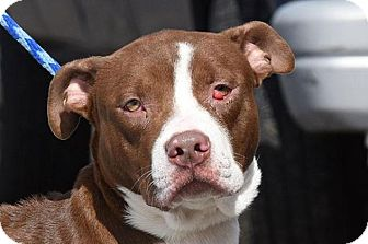 American Pit Bull Terrier Mix Dog for adoption in New Haven, Connecticut - JUSTIN