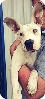 Dogo Argentino/Staffordshire Bull Terrier Mix Puppy for adoption in Everman, Texas - Jace